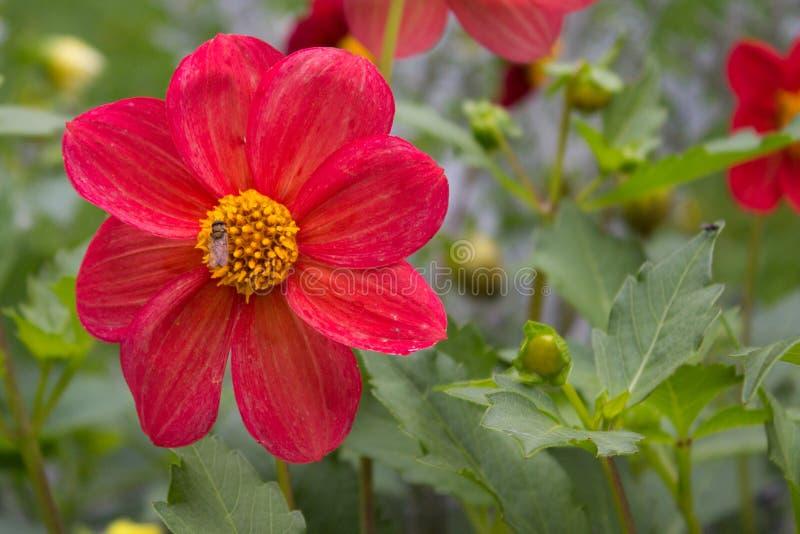 Fermez-vous de la belle fleur rouge de dahlia sur le jardin Flowe naturel image stock