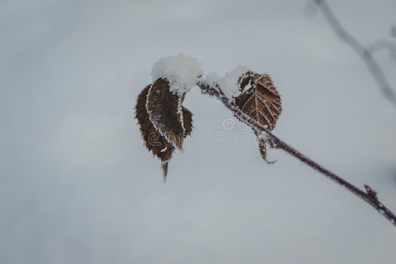 Fermez-vous de la branche d'arbre gelée et des feuilles sèches couvertes de givre photographie stock libre de droits