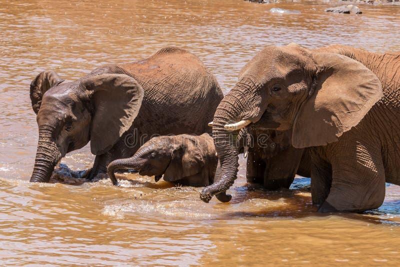 Fermez-vous de la famille d'éléphant dans l'eau en Afrique du Sud photographie stock