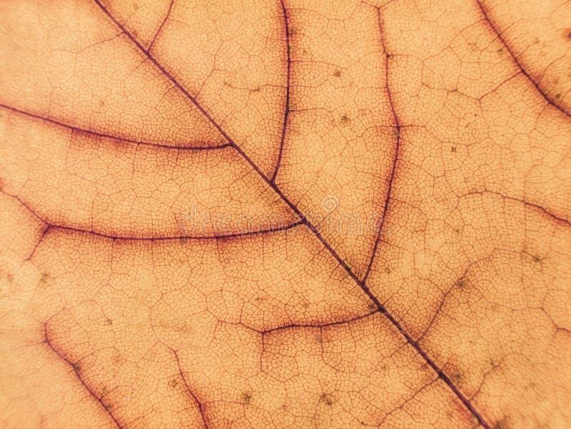 Fermez-vous de la feuille d'érable colorée Fond sec de lame Le jaune laisse le modèle Fond d'automne images stock