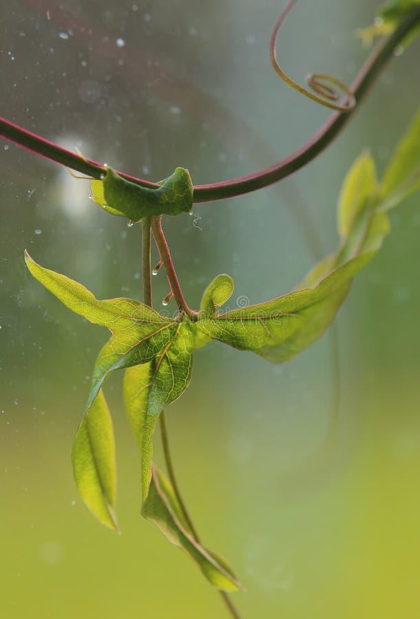 Fermez-vous de la feuille lobée de la passiflore bleue (caerulea de passiflore) avec des glandes de nectar photos stock