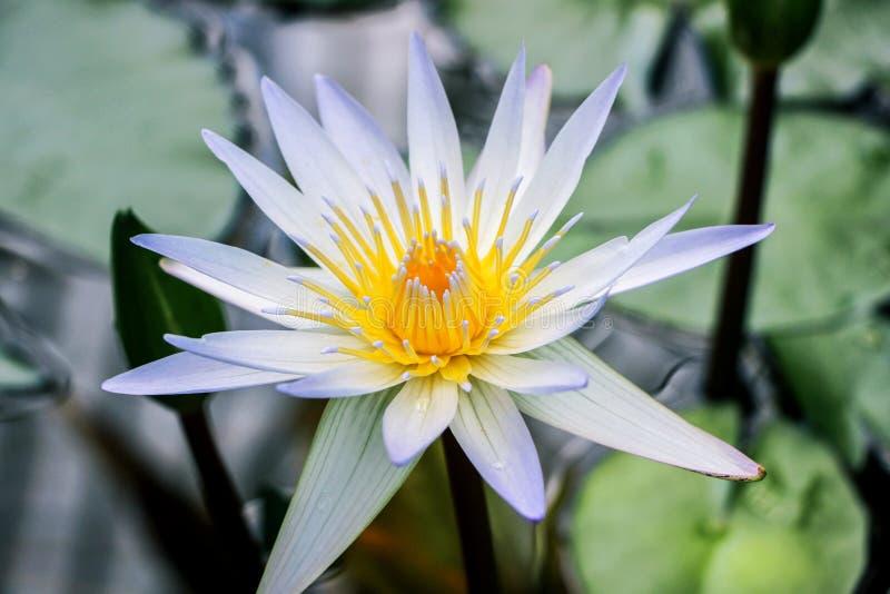 Fermez-vous de la fleur blanche de nénuphar photo stock