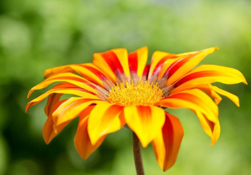 Fermez-vous de la fleur de gazania ou de la marguerite africaine images stock