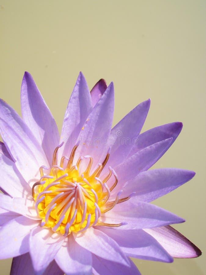 Fermez-vous de la fleur de lotus jaune-pourpre image stock