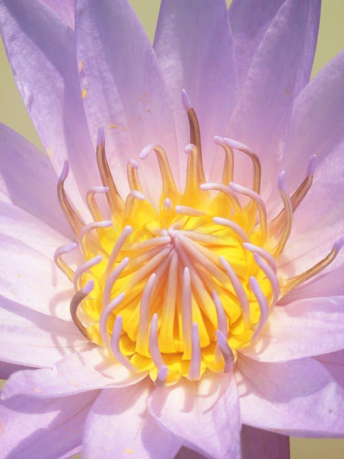 Fermez-vous de la fleur de lotus jaune-pourpre image libre de droits