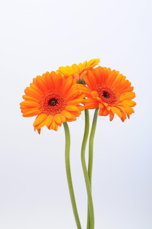 Fermez-vous de la fleur de marguerite orange photographie stock