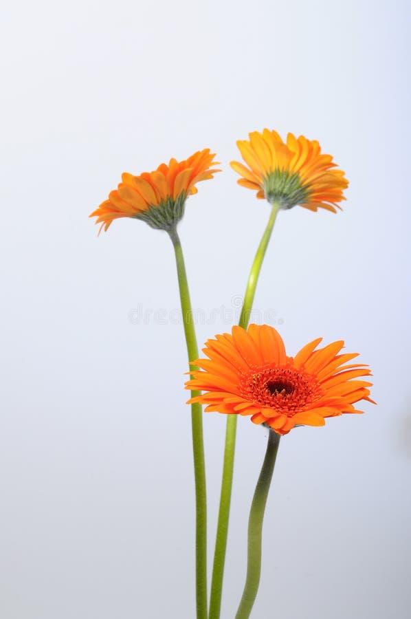 Fermez-vous de la fleur de marguerite orange images libres de droits