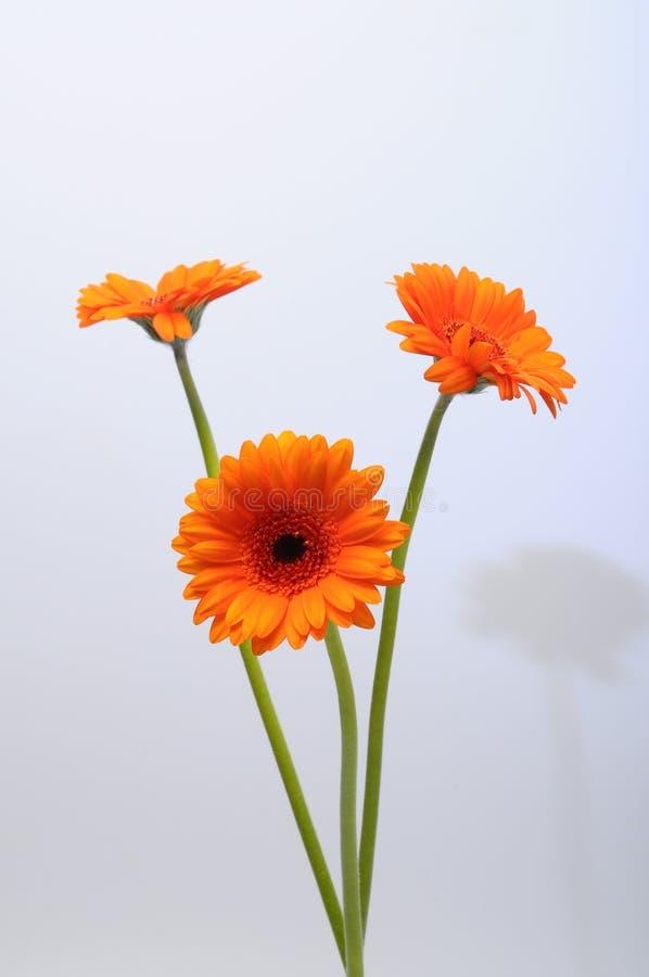 Fermez-vous de la fleur de marguerite orange photos libres de droits