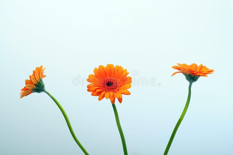 Fermez-vous de la fleur de marguerite orange image libre de droits