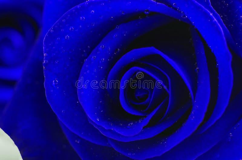 Fermez-vous de la fleur de rose de bleu avec des baisses de l'eau images libres de droits