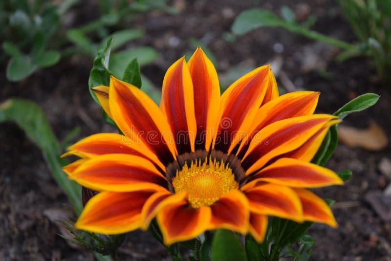 Fermez-vous de la fleur de gazania ou de la marguerite africaine dans un jardin Hort de splendens de Gazania photographie stock