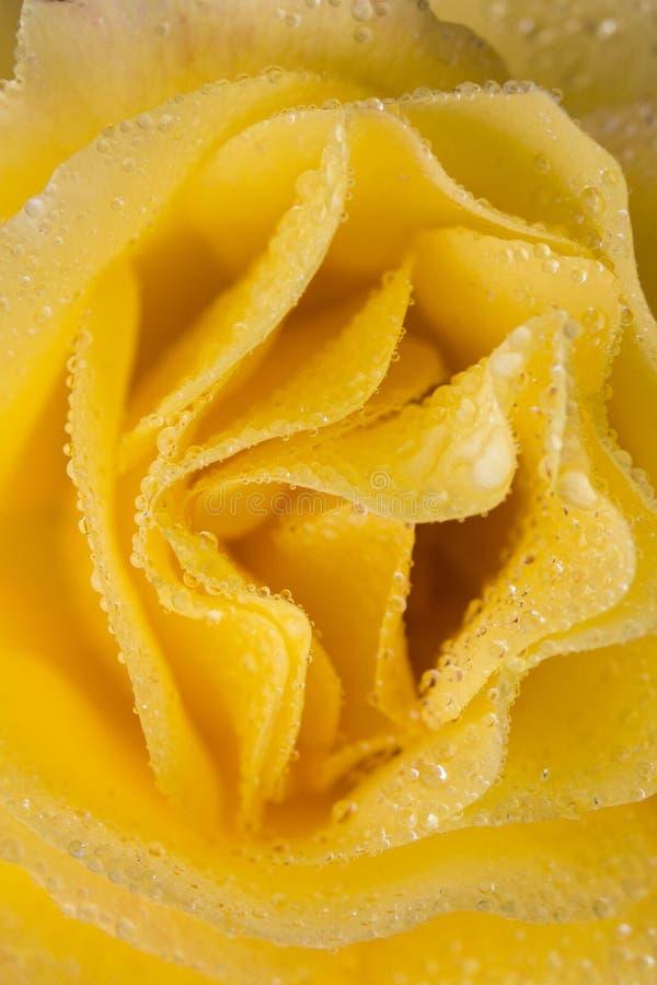 Fermez-vous de la fleur jaune lumineuse couverte par rosée image stock
