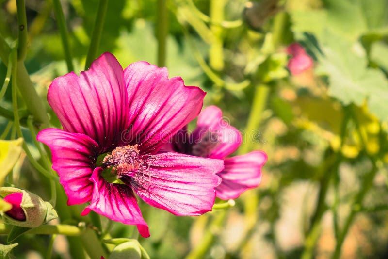 Fermez-vous de la fleur de mauve d'arbre d'île photographie stock