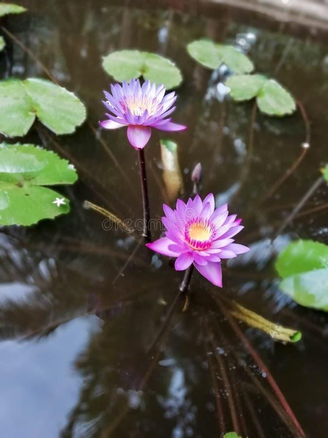 Fermez-vous de la fleur de ressortissant du ` s de Lily Sri Lanka de l'eau deux bleue photo stock