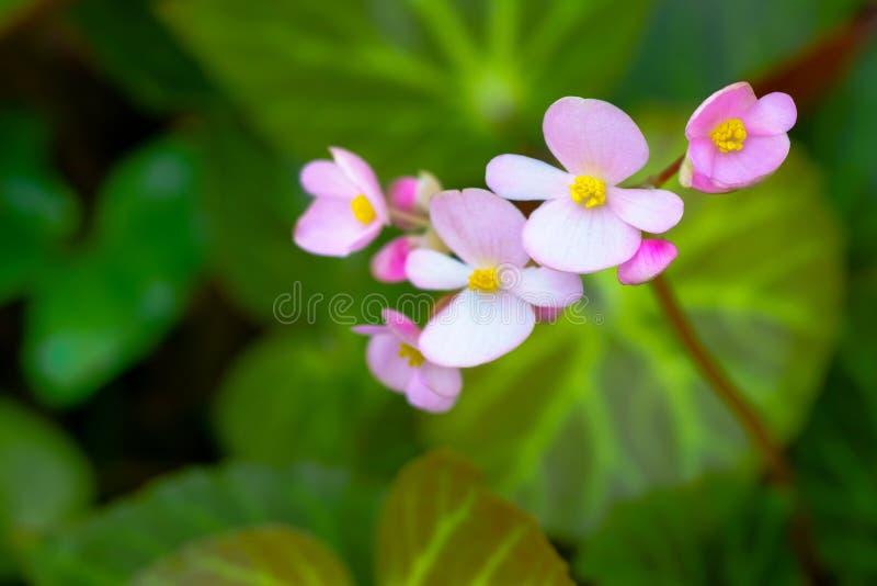 Fermez-vous de la fleur rose de flore dans le jardin tropical avec le vert photographie stock libre de droits