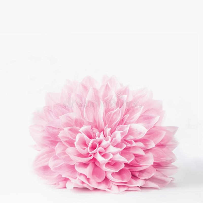 Fermez-vous de la fleur rose en pastel de fleur sur le fond blanc, avec la boîte de l'espace de copie utilisée pour la salutation image stock