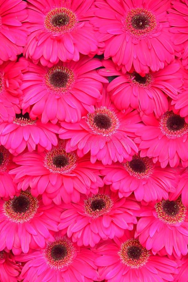 Fermez-vous de la fleur rose de Gerbera comme fond d'image photographie stock libre de droits