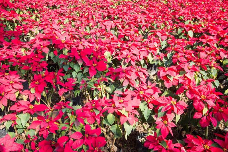Fermez-vous de la fleur rouge d'usine de poinsettia de Noël photographie stock