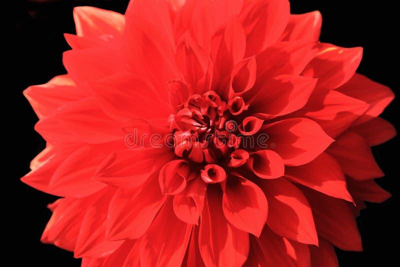 Fermez-vous de la fleur rouge de dahlia sur le fond noir photographie stock libre de droits