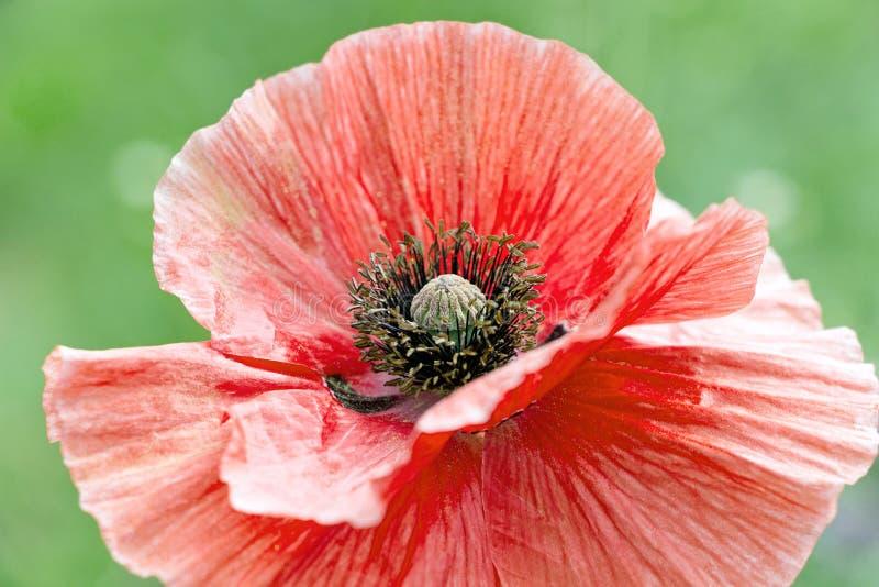 Fermez-vous de la fleur rouge de pavot avec l'étamine noire photo libre de droits