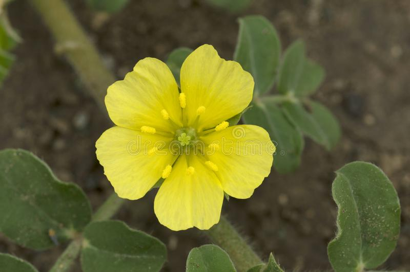 Fermez-vous de la fleur sauvage jaune pr?s de Pune, maharashtra, Inde photos stock