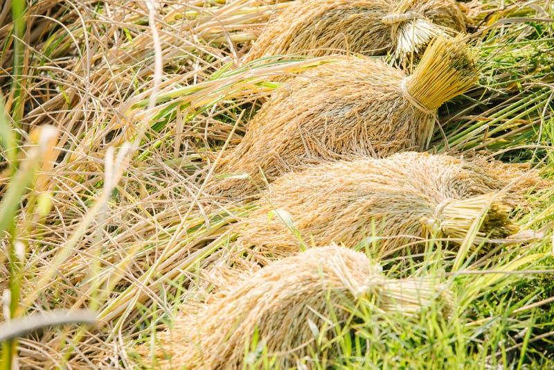 Fermez-vous de la graine de riz ou du riz non-décortiqué sur l'usine de riz images libres de droits