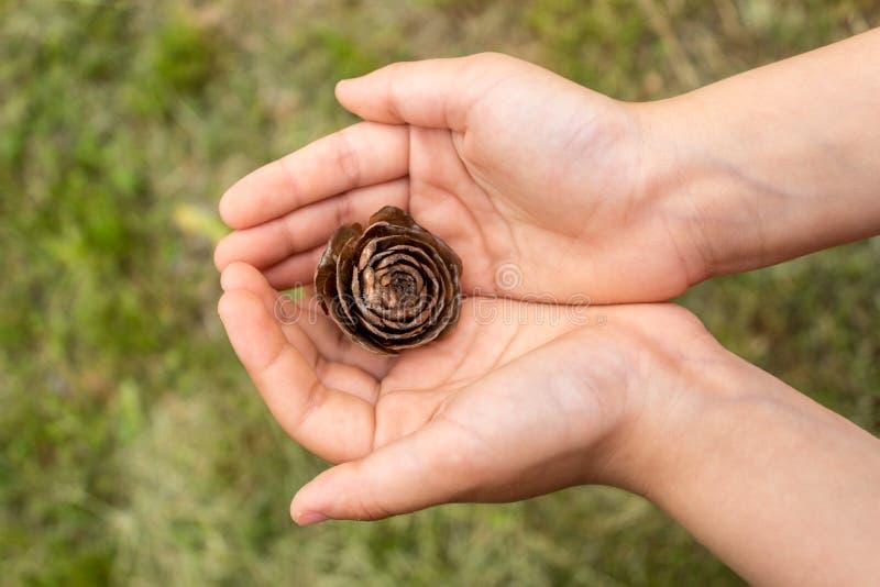 Fermez-vous de la main du ` s d'enfant tenant un c?ne de pin avec un fond brouill? naturel Peu fille tient le c?ne dans des ses m photo libre de droits
