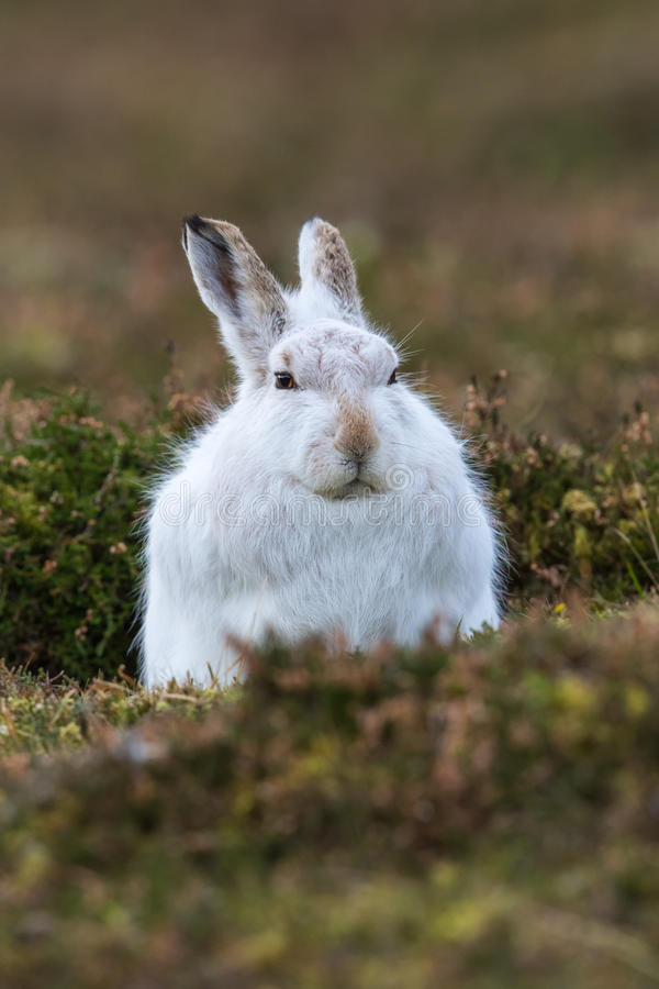 Fermez-vous de la montagne ou des lièvres arctiques photos stock