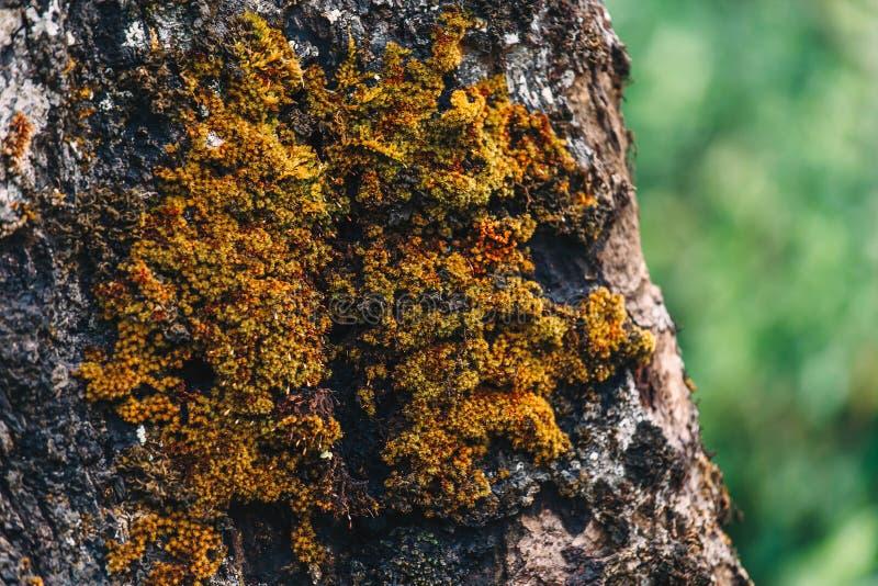 Fermez-vous de la mousse verte sur la texture d'arbre photos stock