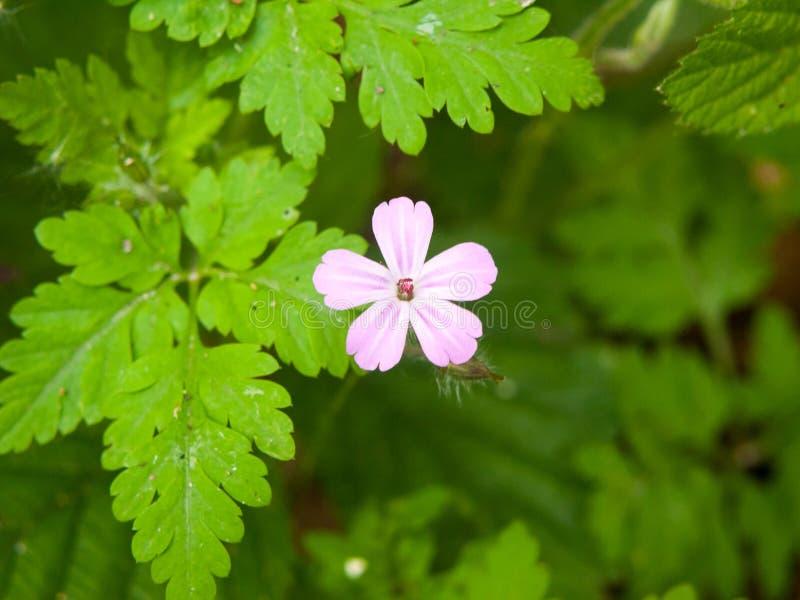 fermez-vous de la petite floraison rose simple de bourgeon de ressort de fleur blanche photographie stock