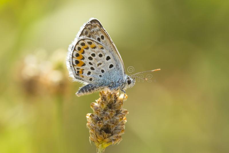 Fermez-vous de la recherche bleue argent-cloutée de Plebejus Argus de papillon photo stock