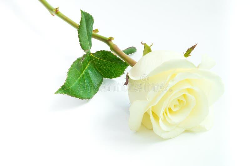 Fermez-vous de la rose de blanc sur le fond blanc image stock