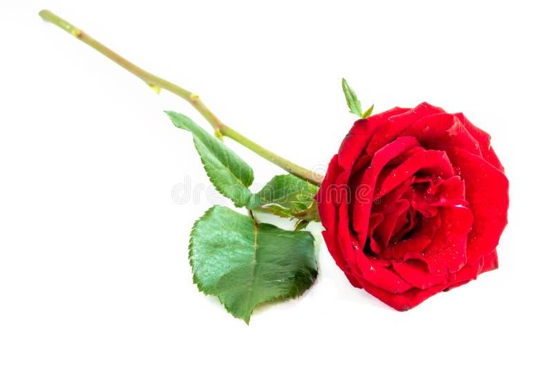Fermez-vous de la rose de rouge sur le fond blanc, foyer sélectif photos stock