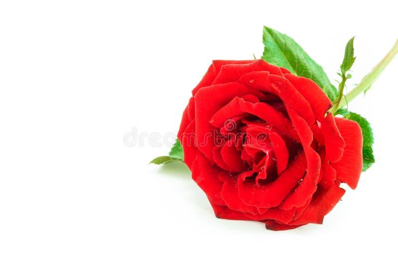 Fermez-vous de la rose de rouge sur le fond blanc, foyer sélectif photos libres de droits