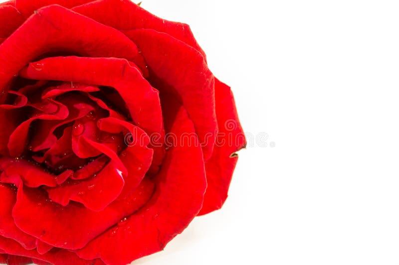 Fermez-vous de la rose de rouge sur le fond blanc, foyer sélectif photographie stock libre de droits
