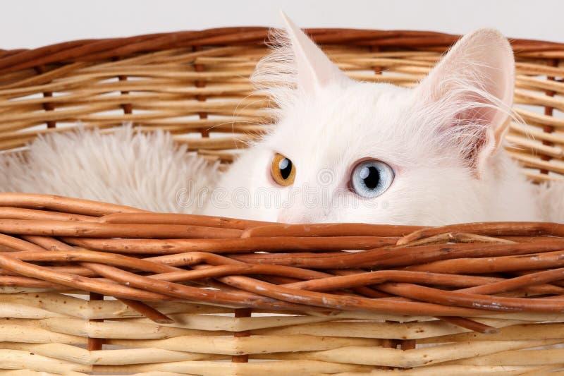 Fermez-vous de la tête d'un blanc, d'un chat observé impair bleu et des yeux ambrins, jetant un coup d'oeil hors d'un panier image libre de droits