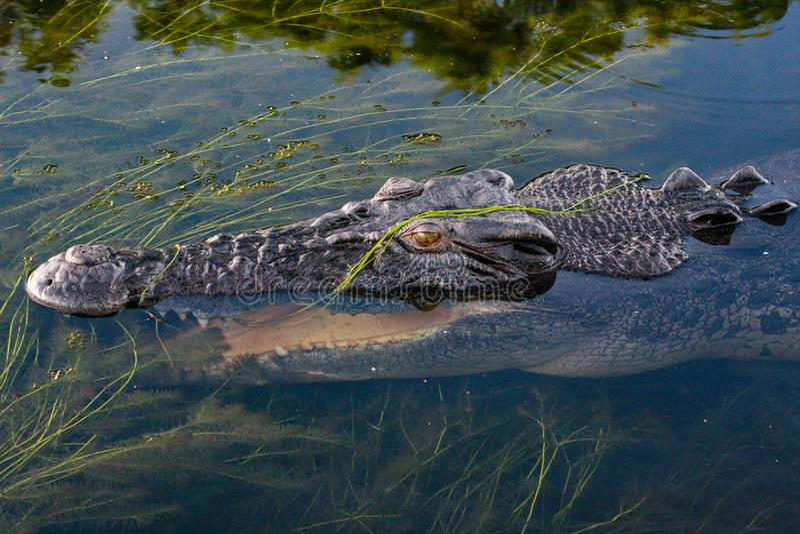 Fermez-vous de la tête d'un grand porosus australien de Crocodylus de crocodile d'eau de mer, territoire du nord, Australie images stock