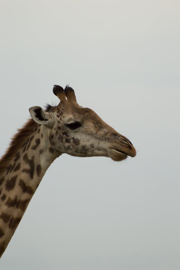 Fermez-vous de la tête et du cou d'une girafe dans le profil photos stock