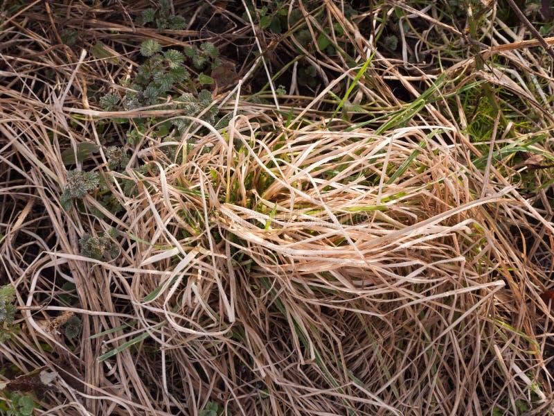fermez-vous de la touffe de l'herbe jaune sur le plancher dehors photos libres de droits