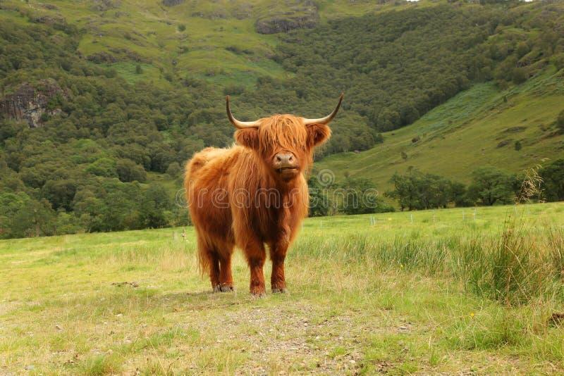 Fermez-vous de la vache des montagnes écossaise dans le domaine photographie stock