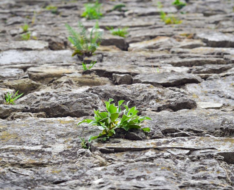 Fermez-vous de la vieille rue de pavé rond et de l'herbe sauvage vert clair Le concept de la sécheresse La terre sèche criquée et photos stock