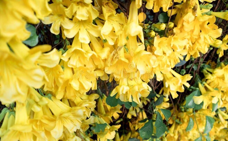 Fermez-vous de la vigne jaune de Catclaw de fleur photographie stock libre de droits