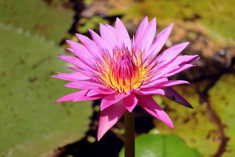 Fermez-vous de Lotus Flower Blooming rose vive à la lumière du soleil avec les feuilles vertes brouillées à l'arrière-plan photo stock