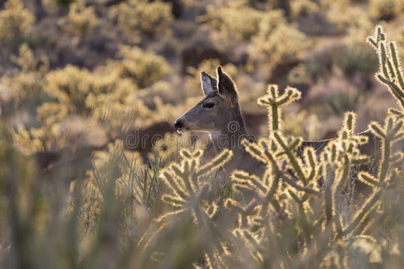 Fermez-vous de Nevada Desert Mule Deer photo libre de droits