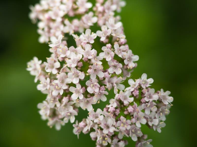 Fermez-vous de pâle - les fleurs roses de cornouiller image libre de droits