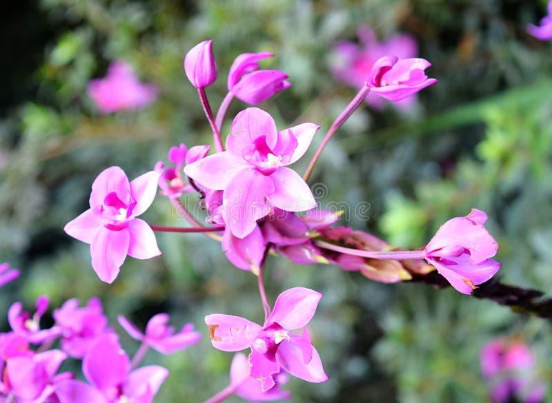 Fermez-vous de petite Violet Lavender Flowers avec des tonalités roses et blanches - papier peint floral photographie stock libre de droits
