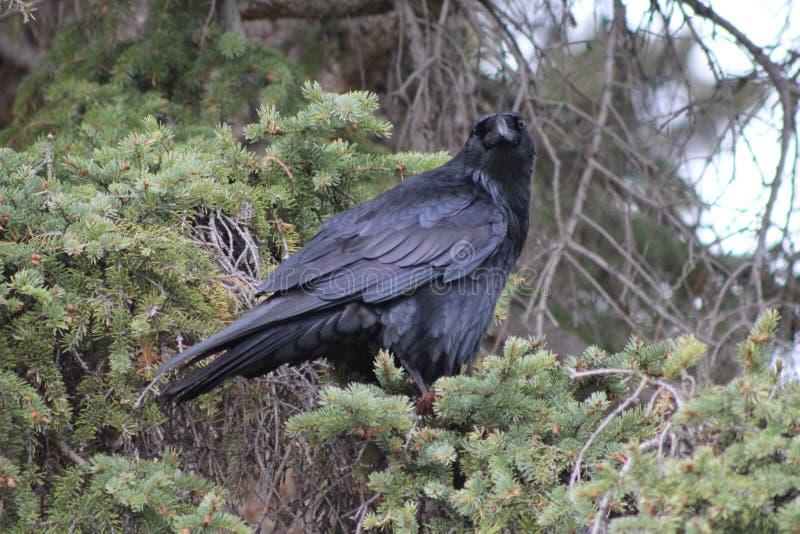 Fermez-vous de Raven In Banff photographie stock