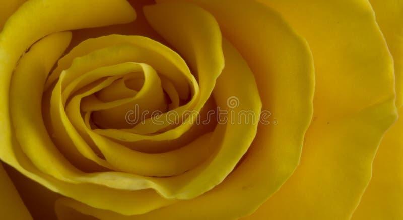 Fermez-vous de s'est levé avec les pétales jaunes photographie stock