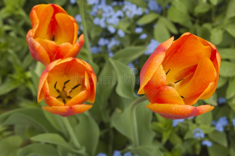 Fermez-vous de trois tulipes oranges images libres de droits