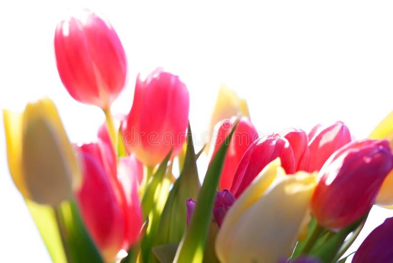 Fermez-vous de Tulip Flower Meadow Isolated And ensoleillée images libres de droits
